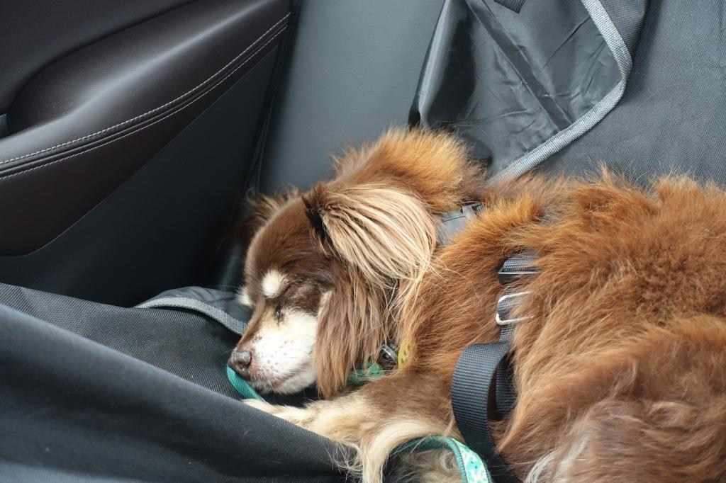 Dog asleep in car seat